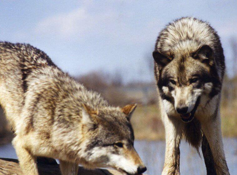 Zwei Wölfe, ein Wolf schaut den andern an